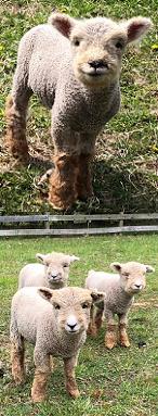 Babydoll Southdown Sheep Breeders Association - Member Directory